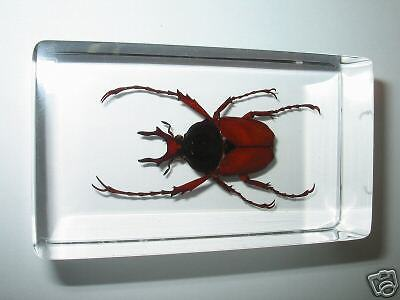 Long Arm Scarab Beetle Dicranocephalus wallichi Learning Specimen Paperweight